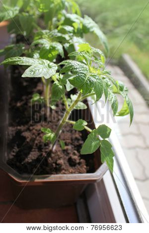 Young plant of tomato growing in a tray
