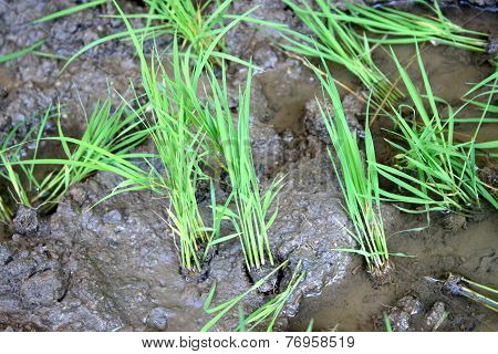 Rice Seedlings In The Rice Farm