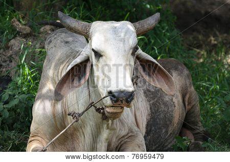 Closeup Of A Massive White Buffalo Chuwing Something