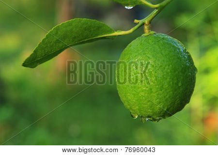 Lime On Tree