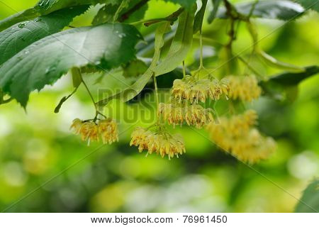 linden tree flowers on branch in summer