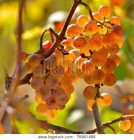 white grapes in the vineyard in autumn