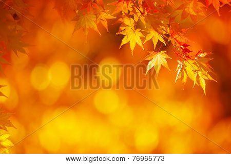 Bright orange maple leafs in mid autumn sunset.