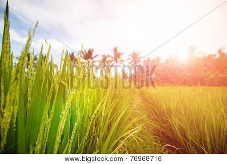 Beautiful lush paddy field of Bali early in the morning