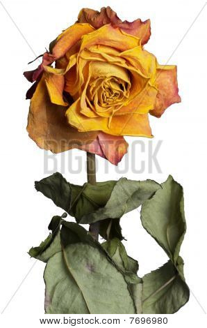 Faded Rose