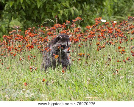 Young Raccoon in Orange Wildflowers