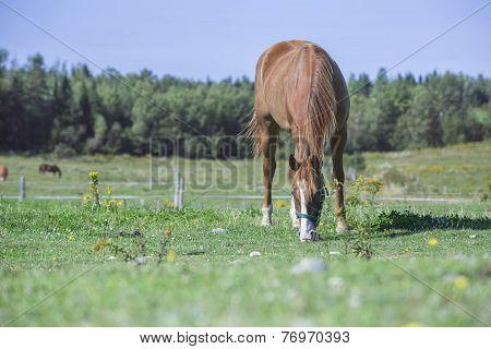 Beautiful quarter horse gelding grazing in a field