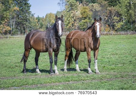 Two horses in a field against a beautiful autumn background