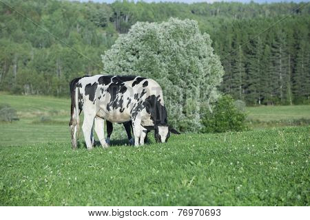 Holstein cow grazing on a warm summer afternoon