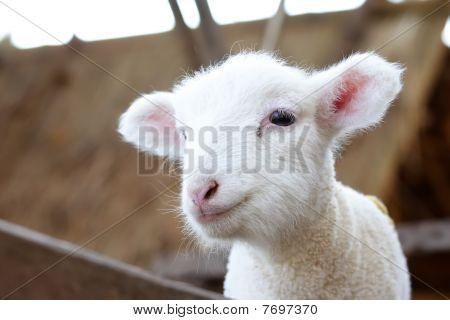 Bebê ovelhas