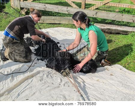 Alpaca Being Sheared On A Uk Alpaca Farm