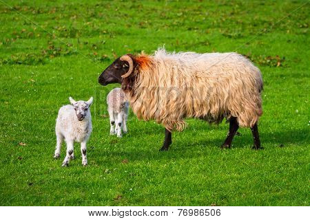 Irish ram with small lamb