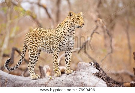 Leopard Standing On The Tree