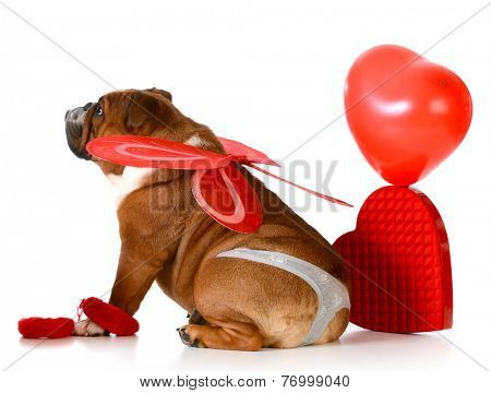 cute valentine bulldog wearing a thong and angel wings on white background