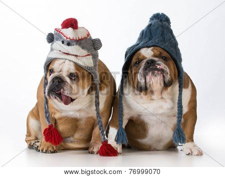 two dogs dressed for winter - english bulldogs wearing winter hats