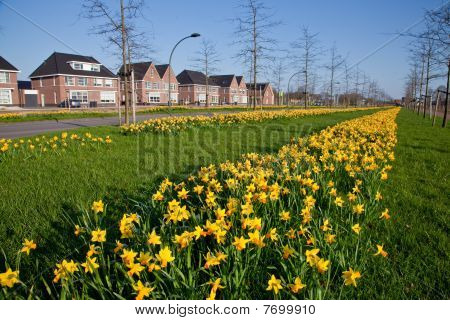 Row Of Narcissus Flowers In The Verge Of A Road