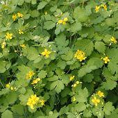 image of celandine  - Dense thickets of flowering Celandine plants  - JPG