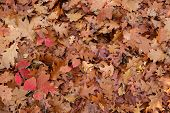 image of temperance  - Fallen leaves background in a temperate forest - JPG