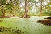 pic of green algae  - Green water algae at bird sanctuaries lake  having so many trees - JPG