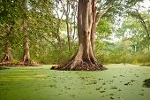 picture of polution  - Green water algae at bird sanctuaries lake  having so many trees - JPG