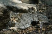 stock photo of wildcat  - European wildcat  - JPG