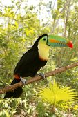 picture of jungle animal  - toucan kee billed Tamphastos sulfuratus on the jungle - JPG