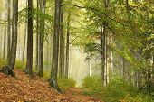 image of alder-tree  - Trail through the misty autumn beech forest - JPG