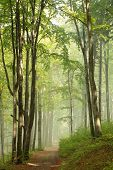 image of alder-tree  - Path through early autumn forest on a foggy - JPG