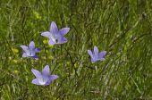 foto of harebell  - Delicate purple wildflower harebell  - JPG