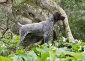 foto of trillium  - german shorthaired pointer standing in the woods - JPG
