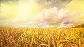 stock photo of early morning  - Ripening golden wheat in the early morning sun - JPG