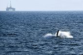 picture of whale-tail  - whales hunt for fish - JPG