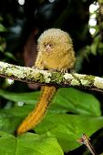 stock photo of marmosets  - A tiny Pygmy Marmoset in the Amazon Jungle - JPG