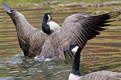 picture of canada goose  - A Canada Goose with Outstretched Wings on a Pond - JPG