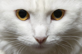 pic of homogeneous  - Portrait of a white fluffy cat on a homogeneous background - JPG