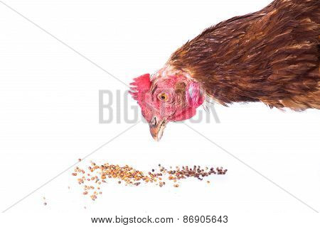 Chicken Eating