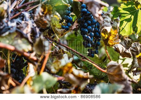 Grapes And Colorful Autumn Leaves