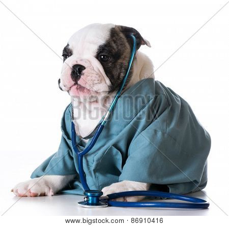 veterinary care - bulldog dressed up like a vet on white background