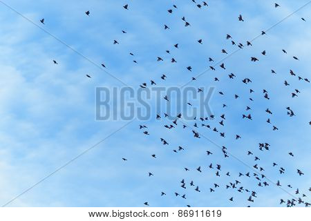 Large Flock Of Birds Is Flying
