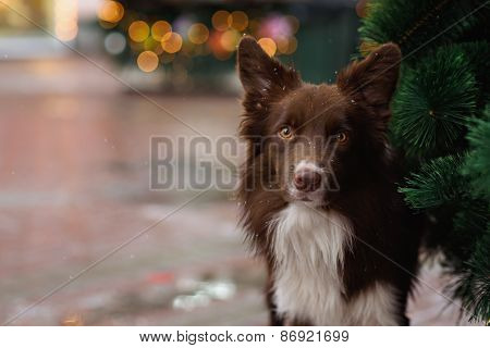 Border Collie Dog Trained To Perform Tricks In The Center Of Moscow. Russia .