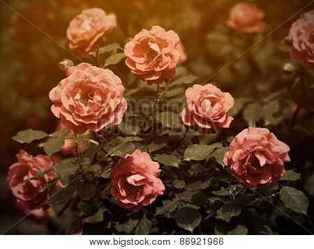 Rose Bush In Vintage Style