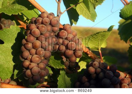 Ripe Pinot Gris Grapes
