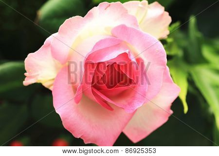 Pink with yellow rose