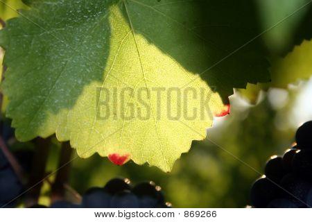 Green Leaf, Red Tips