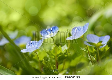 Gentle blue wild flowers on defocused background - fresh spring nature