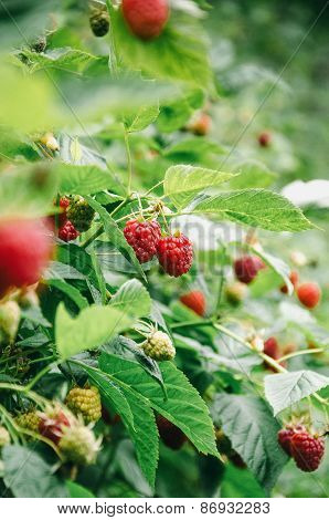 Close look at the raspberry bush