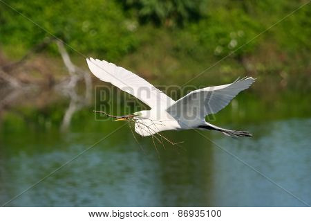 Great Egret Flying With Building Material