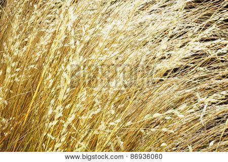 Golden Grass Closeup