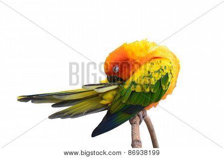 Sun Conure Bird