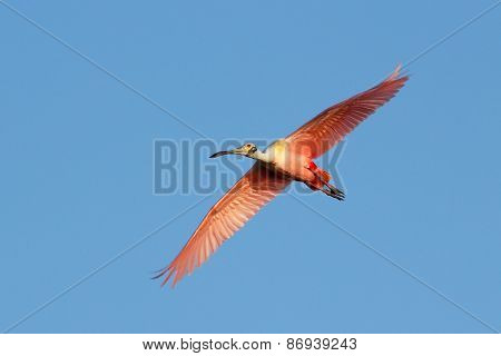 Roseate Spoonbill Flying In Blue Sky
